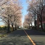 近所で好きな桜道