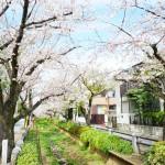 世田谷区の桜並木をドライブ